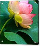 Lotus Blossom And Leaves Acrylic Print
