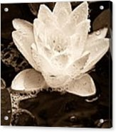 Lotus Blossom Acrylic Print by John Pagliuca