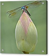 Lotus Bud And Dragonfly Acrylic Print