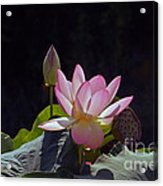 Lotus Enchantment Acrylic Print