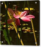 Lotus Flower At The West Lake Acrylic Print