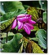 Lotus Flower- Gungarre Billabong Acrylic Print