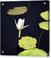 Lotus Flower- Gungarre Billabong V2 Acrylic Print