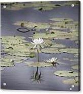 Lotus Flower- Gungarre Billabong V3 Acrylic Print