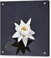 Lotus Flower- Gungarre Billabong V4 Acrylic Print