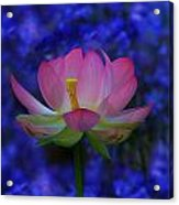 Lotus Flower In Blue Acrylic Print