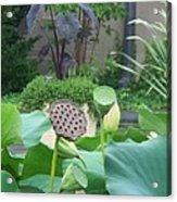 Lotus Flower In Lily Pond Acrylic Print