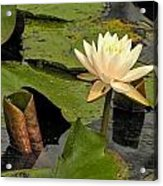 Lotus Flower In White Acrylic Print