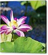 Lotus Flower V6 Acrylic Print