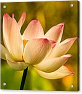 Lotus In Morning Light Acrylic Print