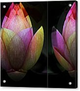 Lotus In Transition Acrylic Print