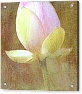 Lotus Looking To Bloom Acrylic Print