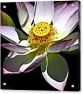 Lotus Of The Night Acrylic Print