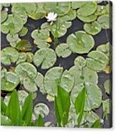 Lotus Pads Acrylic Print