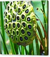 Lotus Pod Acrylic Print