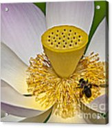 Lotus Pollinator Acrylic Print