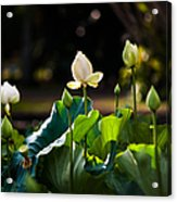 Lotuses In The Evening Light Acrylic Print