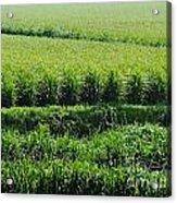 Louisiana Cane Field Acrylic Print