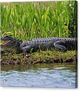 Louisiana Gator Acrylic Print
