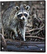 Louisiana Raccoon II Acrylic Print