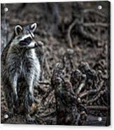 Louisiana Raccoon Acrylic Print