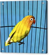 Love Bird Acrylic Print