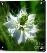 Love In A Mist Acrylic Print