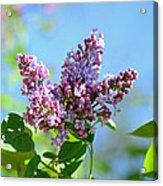 Love My Lilacs Acrylic Print by Lori Tambakis