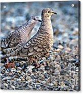 Love Peck Acrylic Print