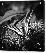 Eclectus Parrot  - Eclectus Roratus Acrylic Print