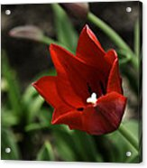 Love Tulip Time Acrylic Print
