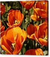 Lovely Burnt Orange Tulips Acrylic Print