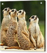 Lovely Group Of Meerkats Acrylic Print
