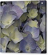 Lovely In Blue And White - Hydrangea Acrylic Print
