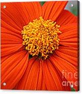 Lovely In Orange - Mexican Daisy Acrylic Print