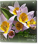Lovely In White And Yellow - Tulips Acrylic Print