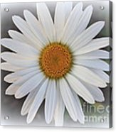 Lovely In White - Daisy Acrylic Print