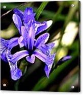 Lovely Iris Acrylic Print