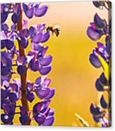 Lovely Lupins And Busy Bee Acrylic Print