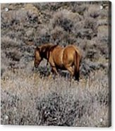 Lovely Sorrel Wild Horse In Western Nevada Acrylic Print
