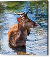 Lovely Time In Water.  Male Deer In The Pampelmousse Botanical Garden. Mauritius Acrylic Print by Jenny Rainbow