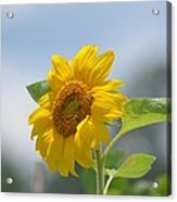 Lovely Yellow Sunflower Acrylic Print