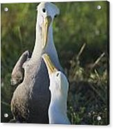 Lovers Gaze At Each Other Acrylic Print
