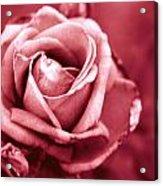 Lovers Rose Acrylic Print