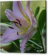 Loving Lilies Acrylic Print