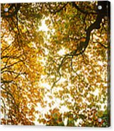 Low Angle View Of Autumn Trees Acrylic Print