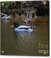 Lowcountry Duck Gathering Acrylic Print