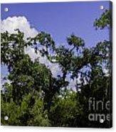 Lowcountry Life Oaks Acrylic Print