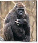 Lowland Gorilla Acrylic Print