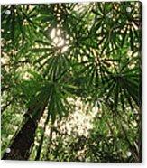 Lowland Tropical Rainforest Fan Palms Acrylic Print